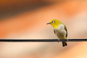 Photo gratuite oiseau jaune sur un fil pour fond d'écran à imprimer