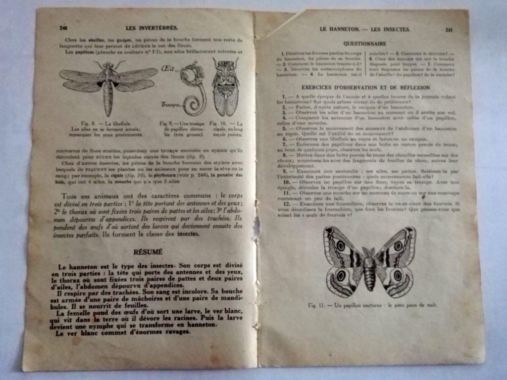 papillon nocturne le petit paon de nuit