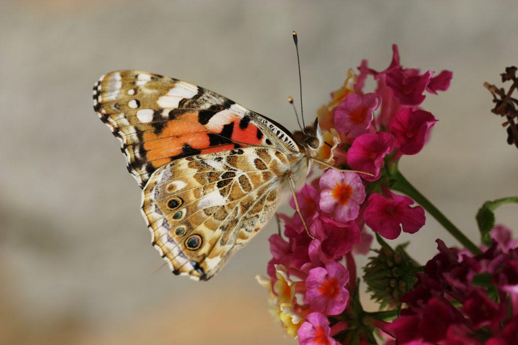 Photo gratuite à imprimer papillon sur fleur rose